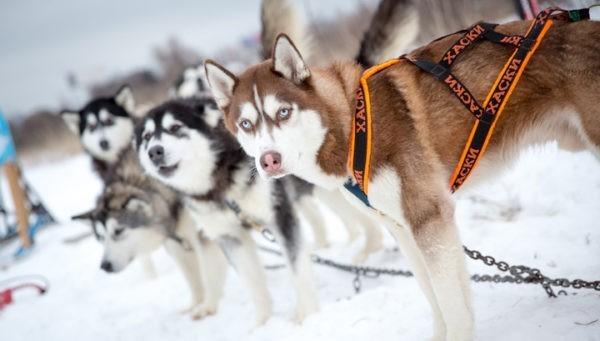 Завершилась очередная гонка на собачьих упряжках Берингия – 2019. Часть 2